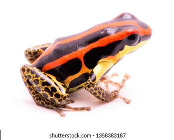 poison dart or arrow frog, Ranitomeya uakarii golden legs morph. A Dendrobates from the Amazon rain forest in Peru. This animal lives in tropical Amazon rain forest of Peru.