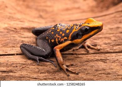 poison dart frog, Ameerega silverstonei. Orange poisonous animal from the Amazon rain forest of Peru.