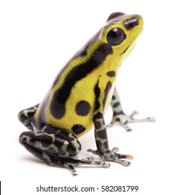 Poison dart frog, an amphibian with vibrant yelllow. Tropical poisonous rain forest animal, Oophaga pumilio isolated on a white background.