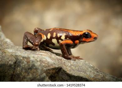 poison dart frog andinobates bombetes