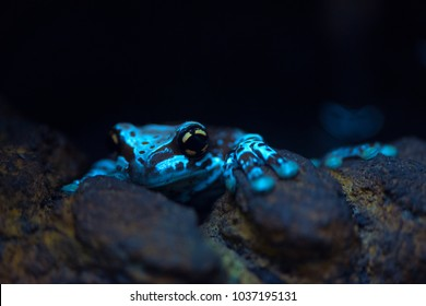 Poison dart frog close up. Shallow depth of field