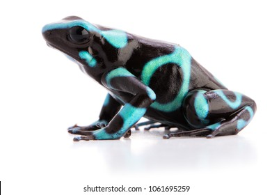 poison dart frog dendrobates auratus