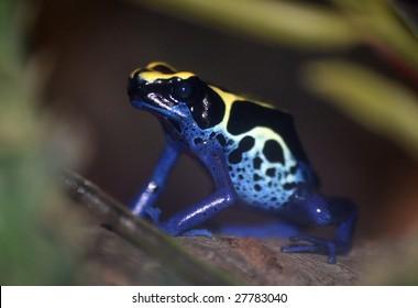 Poison dart frog - Dendrobates tinctorius