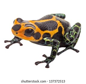 poison dart frog isolated, macro tropical exotic pet animal from Amazon rain forest in Peru. Beautiful cute animal, ranitomeya imitator