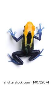 Poison dart frog on a white background (Dendrobate tinctorius Brazilian yellow head)