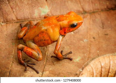 poison dart frog Oophaga histrionica from the tropical rain forest of Colombia. A poisonous small jungle animal.