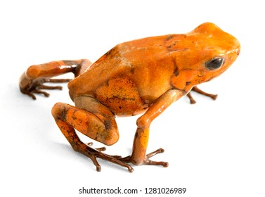 poison dart frog Oophaga histrionica on white from the tropical rain forest of Colombia. A poisonous small jungle animal.