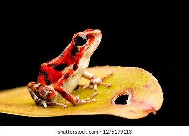 poison dart frog, Oophaga pumilio. A red strawberry dartfrog from the rain forest of Bocas del Toro, Panama.