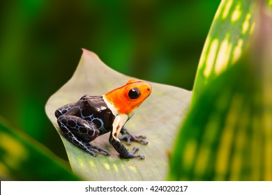 Poison dart frog, ranitomeya fantastica in the tropical Amazon rain forest of Peru. A macro of a small poisonous and toxic animal in the jungle.