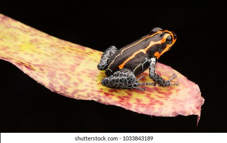 poison dart frog, Ranitomeya imitator, Yumbatos. A small poisonous rain forest animal from the tropical Amazon rain forest in Peru.