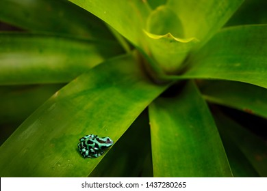 Poison frog from Amazon tropic forest, Costa Rica.  Green Black Poison Dart Frog, Dendrobates auratus, in nature habitat. Beautiful motley frog from tropic forest in South America. Animal Amazon.