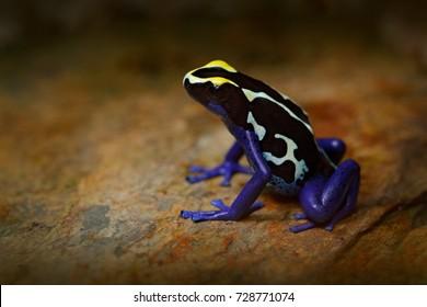 Poison frog, blue frog in tropical nature. Blue and yellow Amazon Dyeing Poison Frog, Dendrobates tinctorius. Wildlife scene from Brazil. Venomous toxic amphibian on the stone.
