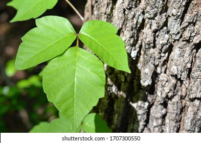 Poison ivy is a climbing plant frequently seen attached to trees. It is identified with three leaves and causes allergic reactions. Green leaves pictured against tree bark for easy identification.