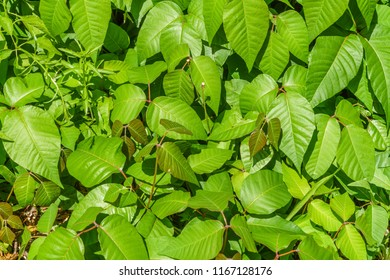 Poison Ivy Field