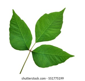 Poison Ivy leaves (Toxicodendron radicans) isolated on a white background.