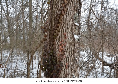 poison ivy on tree trunk with snow in winter