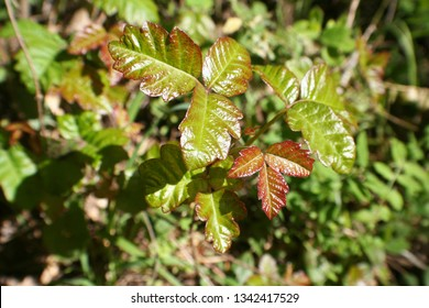Poison Oak Leaves Close Up For Plant Identification High Quality