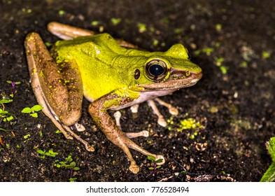 Poison Rock Frog