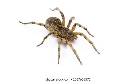 poison tarantula. human health hazard. tarantula spider on white background
