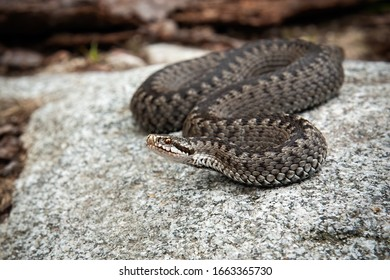 Poisonous common viper, vipera berus, lying on a stone in spring. Venomous snake basking on a rock in nature. Fearsome wild animal in natural environment.