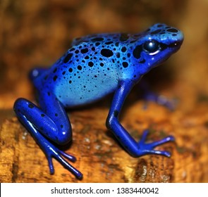 Poisonous dart blue frog with black spots, dendrobatidae, macro photography