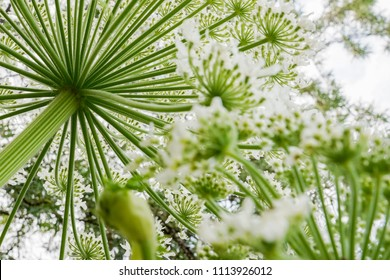 The poisonous Giant Hogweed (Heracleum mantegazzinanum) seen from below.
