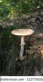 Poisonous mushroom Amanita pantherina