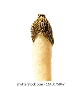 Poisonous mushroom Phallus impudicus looks like Morchella esculenta isolated on white background