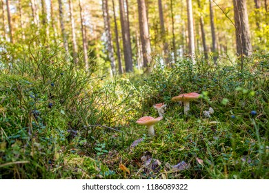 Poisonous mushrooms in the deep Scandinavian forest during a late summer day