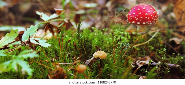 Poisonous mushrooms in the forest, the fly agaric is red. (Lat Amanita muscaria). Contains a narcotic substance of vegetable origin. Selective focus, close-up.