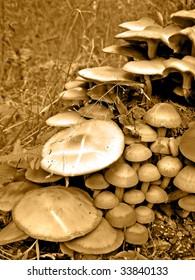 poisonous mushrooms on stump tree
