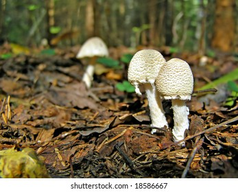 poisonous mushrooms in wood