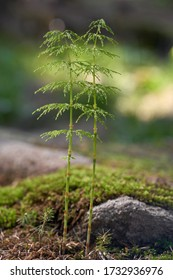 Poisonous plant Equisetum sylvaticum in the spruce forest. Known as wood horsetail. Green plants growing in the spruce forest in the moss and needles.