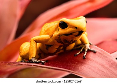 Poisonous poison arrow frog, Phyllobates terribilis. Deadly animal fropoison dart frog, Phyllobates terribilis. Most poisonous frog from the Amazon rain forest in Colombia