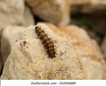 poisonous question mark caterpillar