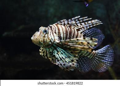 Poisonous red lion fish