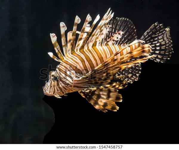 Poisonous venomous Lionfish also called zebrafish, firefish, turkeyfish, tastyfish or butterfly-cod.