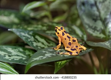 Poisonous yellow and brown Panamanian golden frog on green tropical leaves.