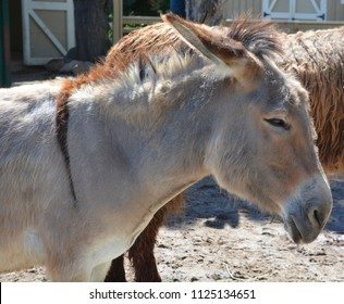 The Poitou donkey or Poitou ass (French: Baudet du Poitou), also called the Poitevin donkey, is a breed of donkey originating in the Poitou region of France.