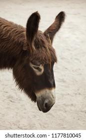 Poitou donkey (Equus asinus asinus), also known as the Poitevin donkey.