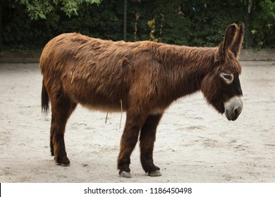 Poitou donkey (Equus asinus asinus), also known as the Poitevin donkey.