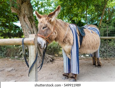 Poitou donkey in pants, Saint Martin de Re, Ile de Re Island,  France