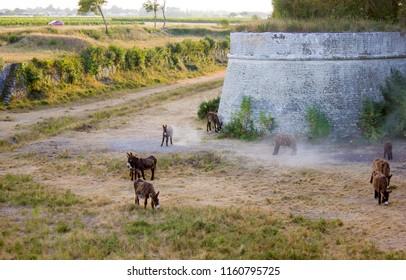 Poitou Donkeys at the Fortress of Vauban, Ile de Re, France
