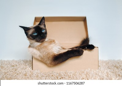 Poker Face. Sassy muzzle of cat boss. Siamese cat in a cardboard box. Cat's habits.