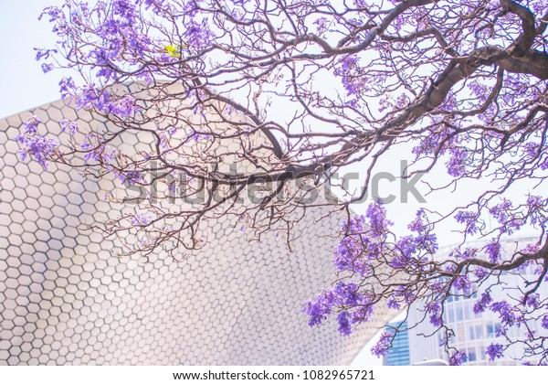Polanco, Mexico - April 7, 2018: famous Soumaya museum in Polanco adorned with trees and some small jacaranda flowers on top