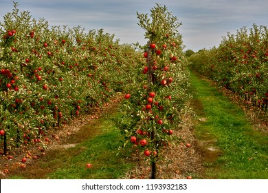 Poland around the city of Elblag, growing apples