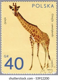 POLAND - CIRCA 1972: A stamp printed in Poland shows giraffe, series is devoted to animal zoo, circa 1972