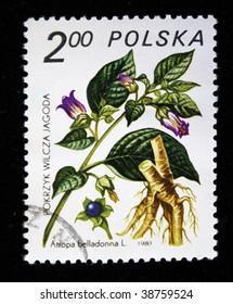 POLAND -CIRCA 1980: A stamp printed in Poland shows  deadly nightshade - Atropa belladonna, series, circa 1980
