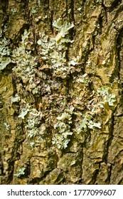 Poland. Przemyskie Voivodeship, around the town of Radawa. Summer forest vegetation. Birch tree, bark on the tree.
