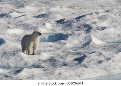 A polar bear appears to smile contentedly into the warm sun on an ice floe in Baffin Bay, Nunavut, Canada.